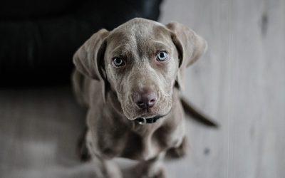 Pourquoi faut-il acheter une médaille pour chien ?